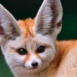 Il Fennec, la piccola volpe dorata / Descrizione