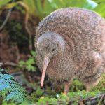 Kiwi bird /Descrizione