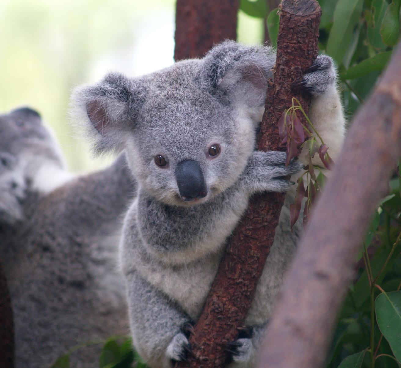 Una star australiana: il Koala / Descrizione