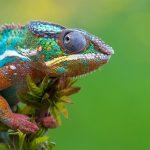 Un pittore naturale: il camaleonte