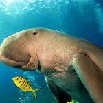 La mucca di mare, il Dugongo / Descrizione