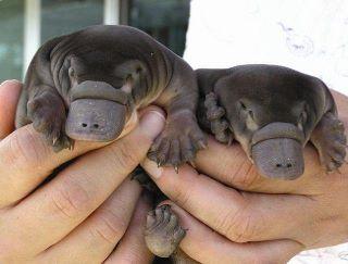 Cuccioli di ornitorinco