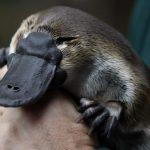 L'ornitorinco, mammiferi e uova / Descrizione