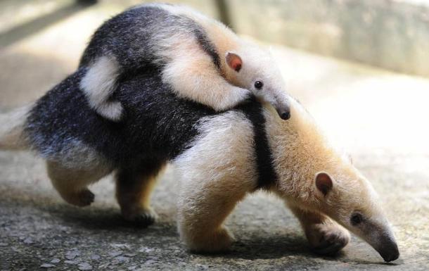Formichiere cucciolo sul dorso della madre