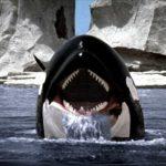 Uno spietato predatore: L'orca assassina/Descrizione