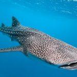 Lo squalo balena: il gigante del mare / Descrizione