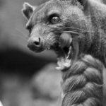 Il Fossa! Un temibile carnivoro / Descrizione