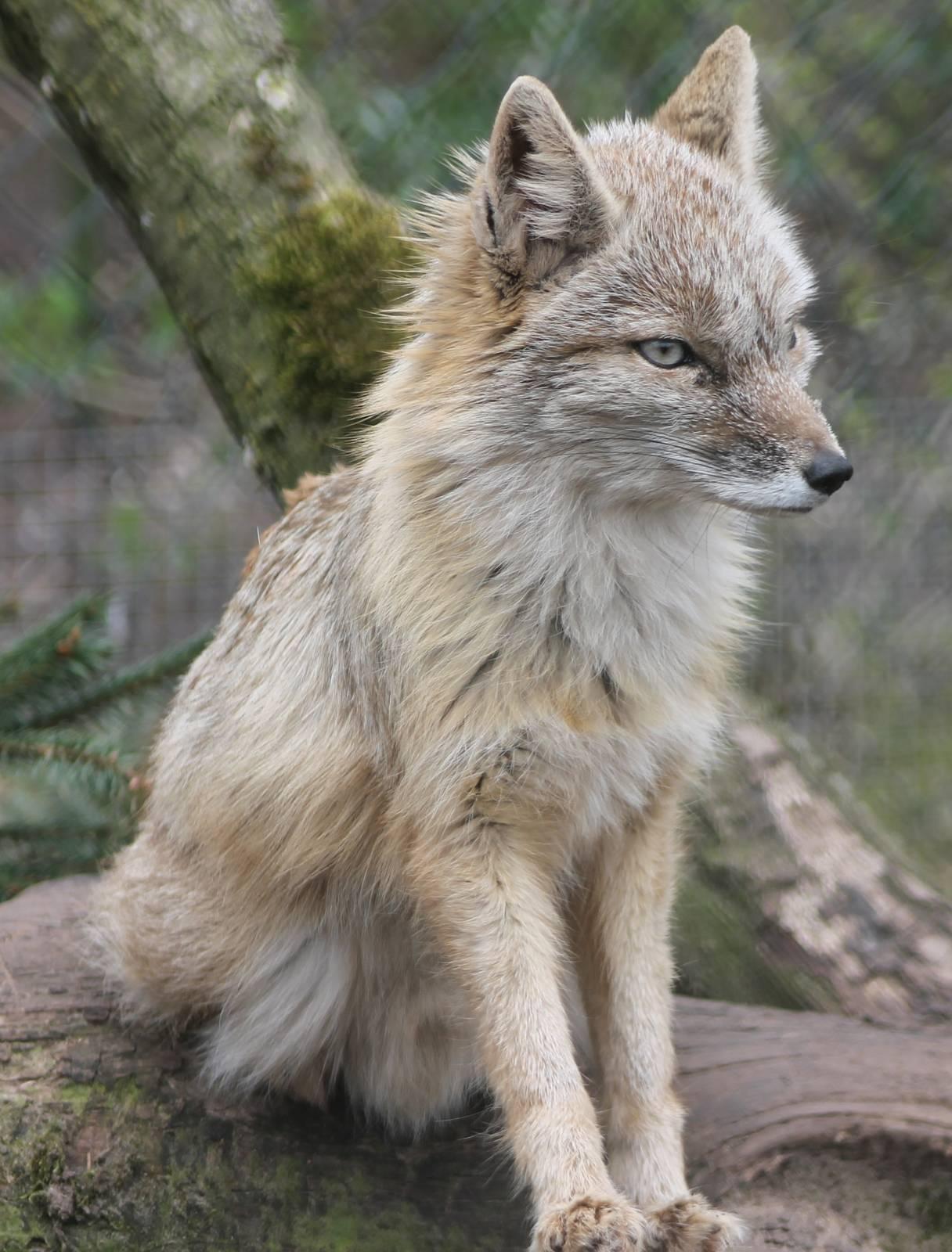 img_4367_corsac_fox-222902