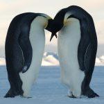 8 Cose che non sapevi sul pinguino imperatore