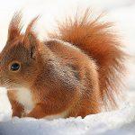 Lo scoiattolo rosso / Descrizione
