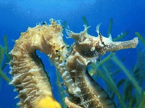 cavallucci-marini-ippocampo