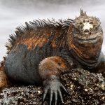 Il drago delle Galàpagos: l' iguana marina / Descrizione
