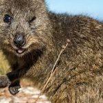 Quokka, il simpatico wallaby / Descrizione
