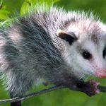Opossum / Descrizione Animale