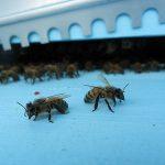 Foto Api / Giornate d'apicoltori