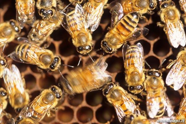 Ape bottinatrice durante lo scodinzolamento / Danza delle api