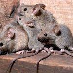 La famiglia odorosa del ratto