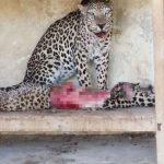 Zoo senza cibo / 256 animali muiono di fame