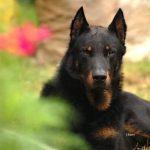 Pastore della Beauce | Razze Canine