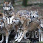 Gerarchia e Ordine Sociale nei mammiferi
