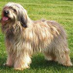 Pastore Catalano | Razze Canine
