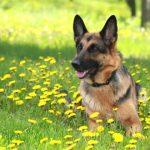 Pastore Tedesco | Razze Canine
