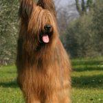 Pastore della Brie | Razze Canine