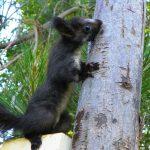 Sciurus meridionalis: nuova specie di scoiattolo!