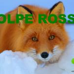 Video Descrizione della Volpe Rossa